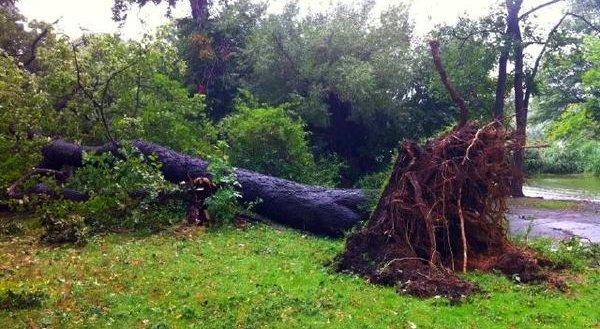 Felled Tree in Prospect Park